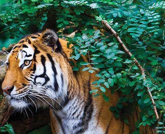 Glimpses of Taj & Tiger
