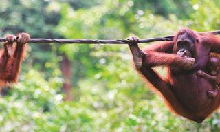 Classic Borneo
