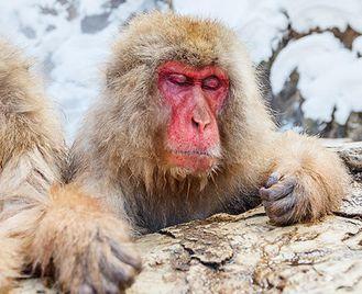 Snow Monkeys & Mountains