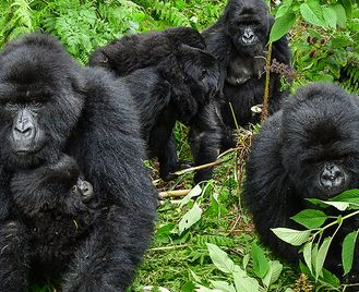 Uganda Gorilla Short Break