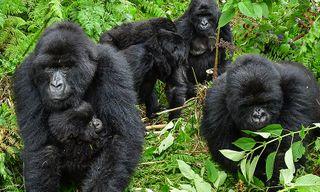 Uganda Gorilla Short Break: Original