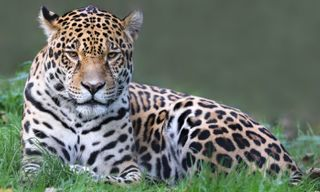 Wildlife Brazil: Jaguars Of The Pantanal