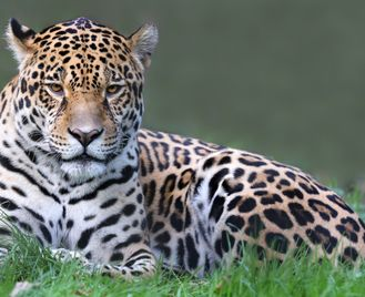 Wildlife Brazil: Jaguars Of The Pantanal