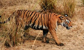 Tigers, Temples and the Taj Mahal