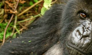Mountain Gorillas of Rwanda Experience – Independent