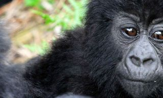 Mountain Gorillas of Uganda Experience - Independent