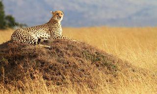 Big Cat Masai Mara & Samburu Safari