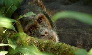 Essential Uganda: Chimps & Gorillas Private Tour