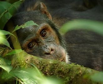Essential Uganda: Chimps & Gorillas Private Tour