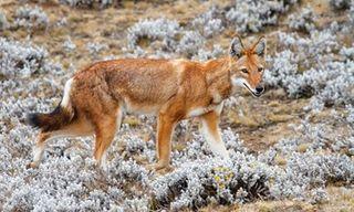 Unusual And Endemic Wildlife Of Ethiopia