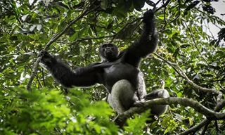 Congo Explorer & Gorillas
