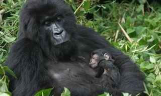 Rwanda Gorilla Trekking Special