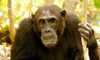 Western Tanzania Safari & Chimp Trekking