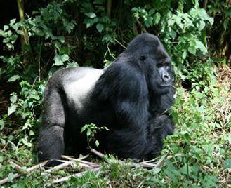 Gorilla Express Uganda