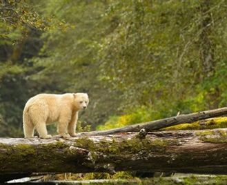 Spirit Bears Of British Columbia