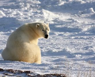 Polar Bears Of Manitoba