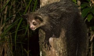 Madagascar Wildlife: Endangered Oddities And Icons With Daniel Austin: 2020