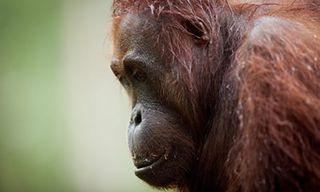 Borneo Orangutan Experience