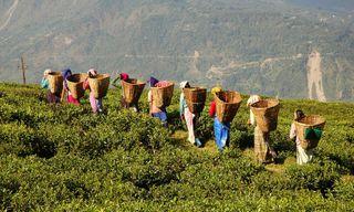 Tea Producers in Darjeeling