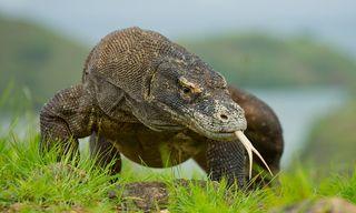 Ricefields of Bali to Komodo Dragons