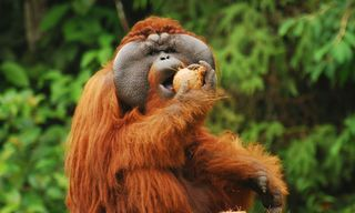Orangutan Conservation in Borneo