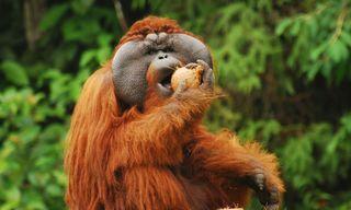 Orangutan Conservation in Borneo