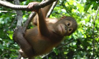 Orangutan and Sun Bear Conservation in East Kalimantan