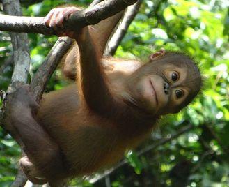 Orangutan and Sun Bear Conservation in East Kalimantan