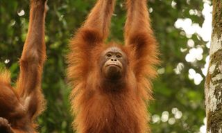 The Great Orangutan and Pygmy Elephant Project