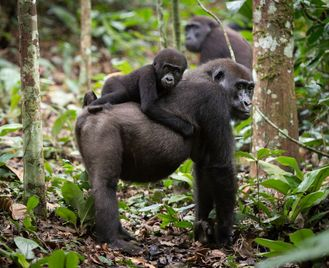 Congo - Odzala Discovery