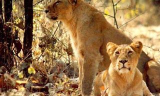 Big Cats and Small Kingdoms - Rajasthan and Gujarat