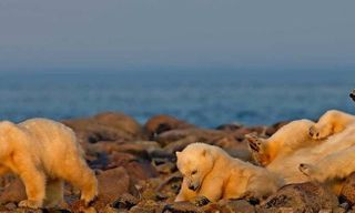 Birds, Bears And Belugas - Arctic Summer Safari