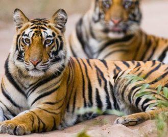 Tigers Of Madhya Pradesh