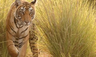 Rajasthan & The Tigers Of Ranthambore