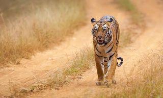 Central India Tiger Safari Tour