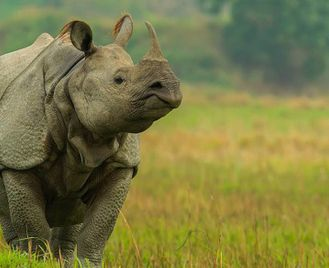 Tigers of Central India and Rhinos of Assam
