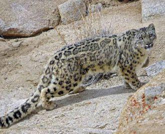 Ladakh: Snow Leopard Tour