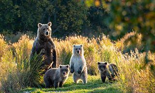 Alaska Bear Odyssey