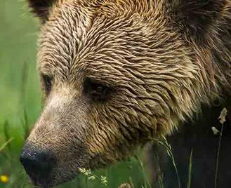 Bears In The Carpathian Mountains