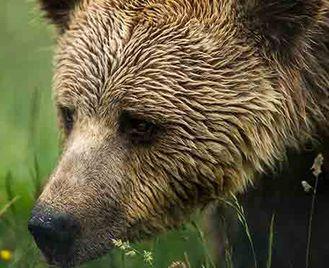 Bears In The Carpathian Mountains