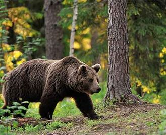 Brown Bears In Finland