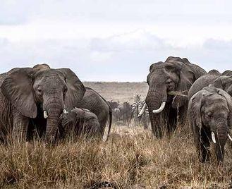 Elephant Watch