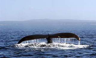 Humpback Whales In Newfoundland
