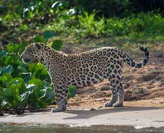 Jaguars Of The Pantanal