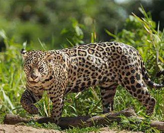 Just Jaguars