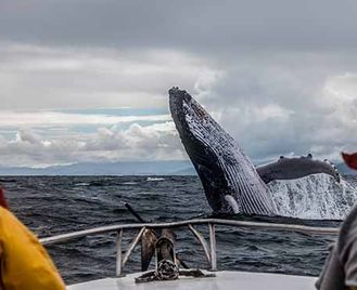 Northern Right Whales Of New Brunswick