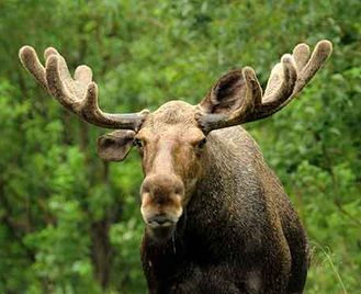 Quebec'S Bears, Whales & Moose