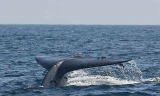 Blue Whales, Dolphins & Leopards