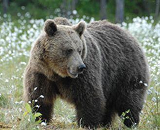 Brown Bear Explorer