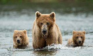 Brown Bears Of Kodiak